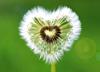 Одуванчик-сердце